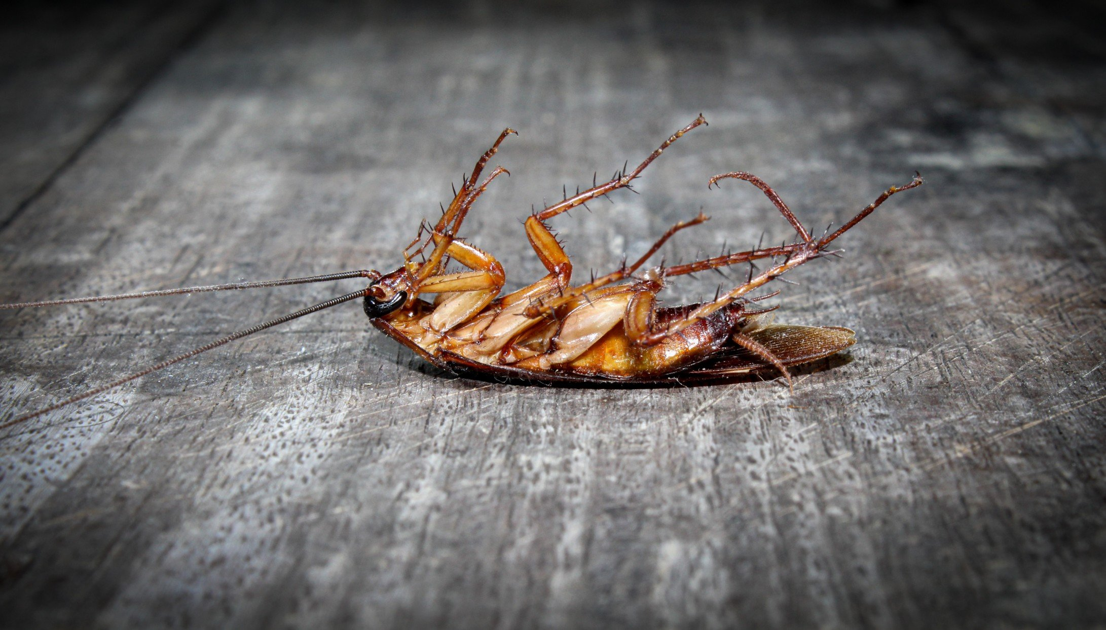 roaches-lie-dead-on-wooden-floor-dead-cockroach-close-up-face-close-up-roaches-antenna-background_t20_4bdlea